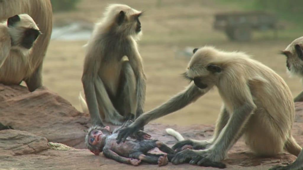 Documentario da BBC mostra um grupo de macacos de luto e chorando apos a morte de um macaquinho robo