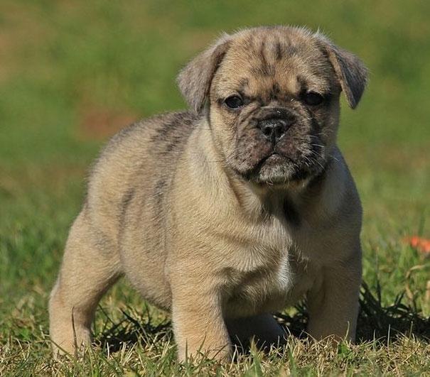 Buldogue-com-Pug