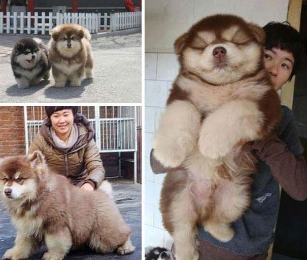Chow-Chow-com-Husky