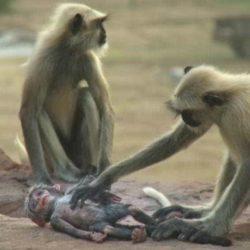Documentário da BBC mostra um grupo de macacos de luto e chorando após a morte de um macaquinho robô