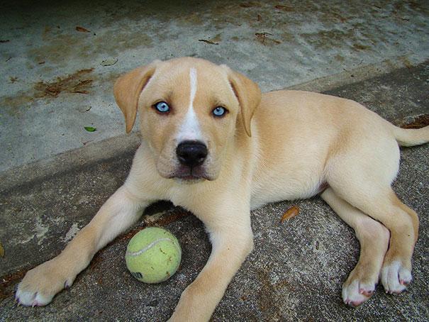 Labrador-com-Husky