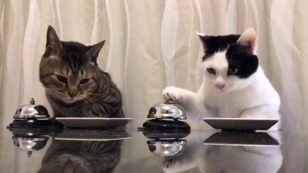 Gatos pedindo por comida tocando um sino