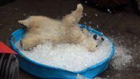 Nora, a urso polar brincalhão