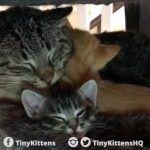 Pequenos gatinhos que curaram a agressividade de um gato selvagem 1