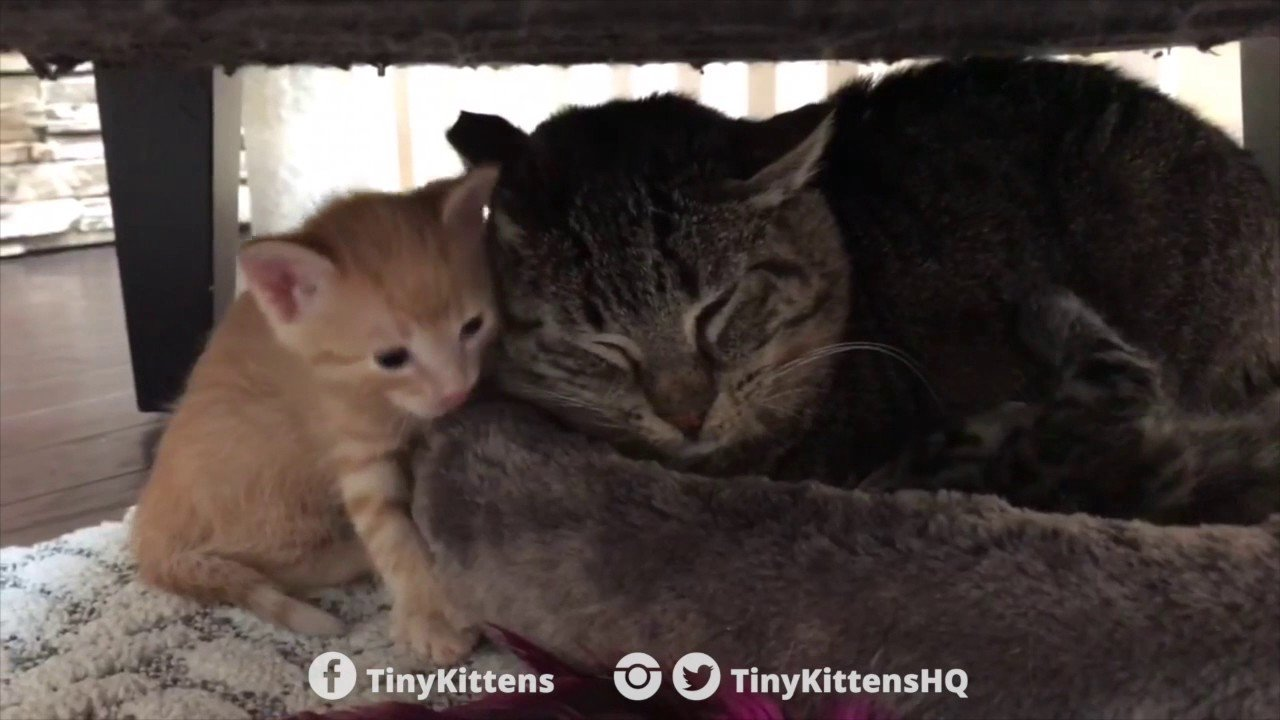 Pequenos gatinhos que curaram a agressividade de um gato selvagem