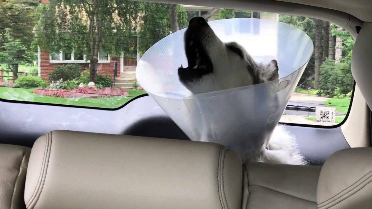 Cachorro chapado de anestesia voltando da cirurgia