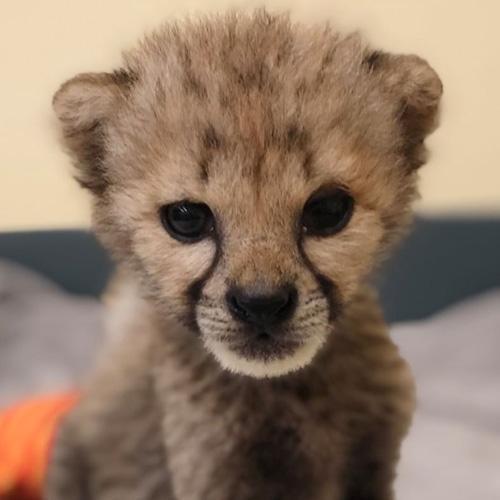 Esse bebê guepardo é a própria definição de fofura