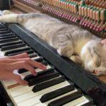 O gato do piano enquanto dono toca felino se delicia com o som