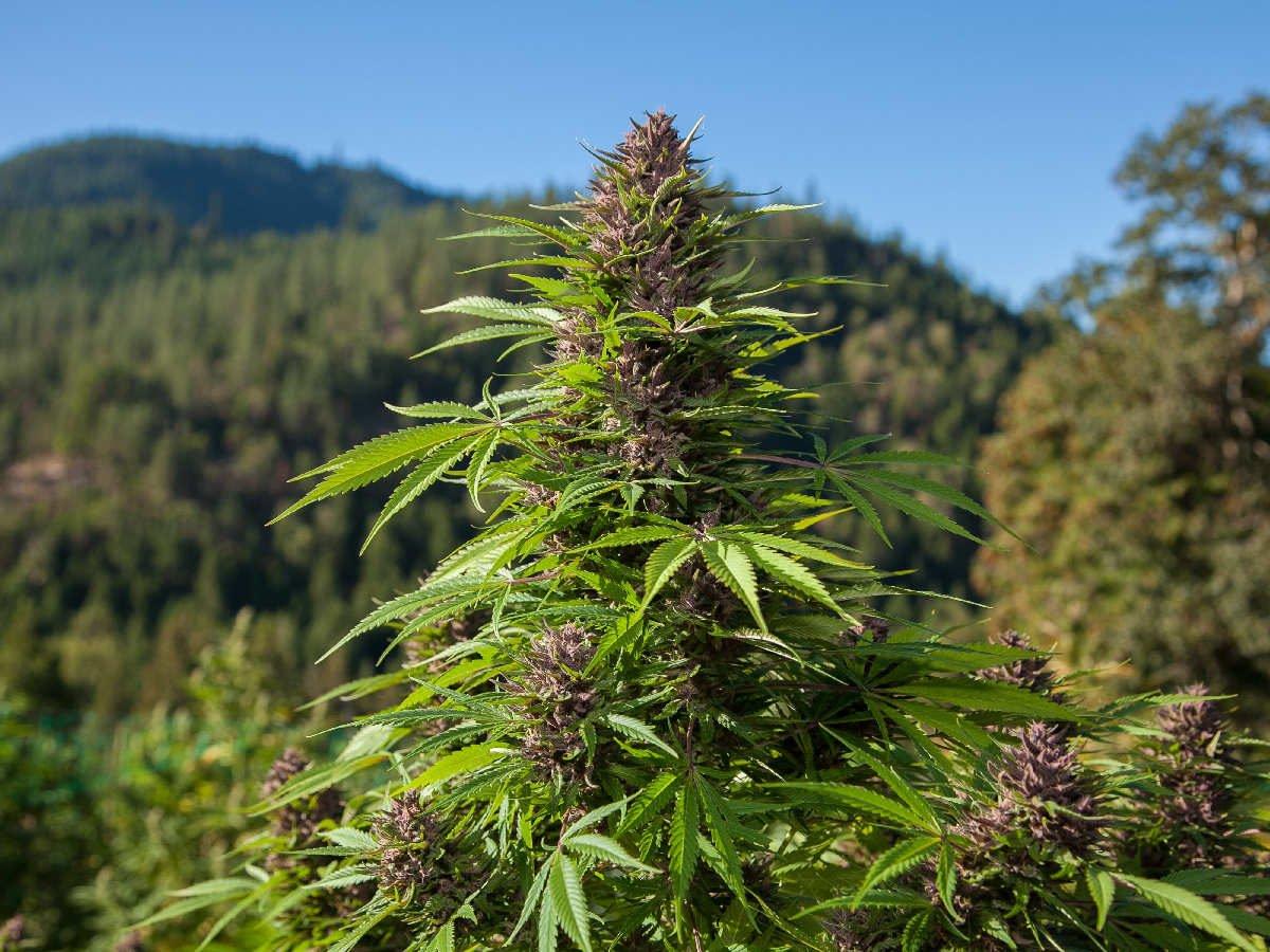 Cannabis Indica e Cannabis Sativa: entenda as principais diferenças
