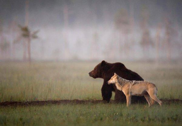 Lassi Rautiainen registra amizade entre um lobo cinzento e um urso pardoLassi Rautiainen registra amizade entre um lobo cinzento e um urso pardo