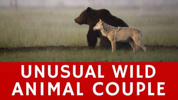 Lassi Rautiainen registra amizade entre um lobo cinzento e um urso pardo 15