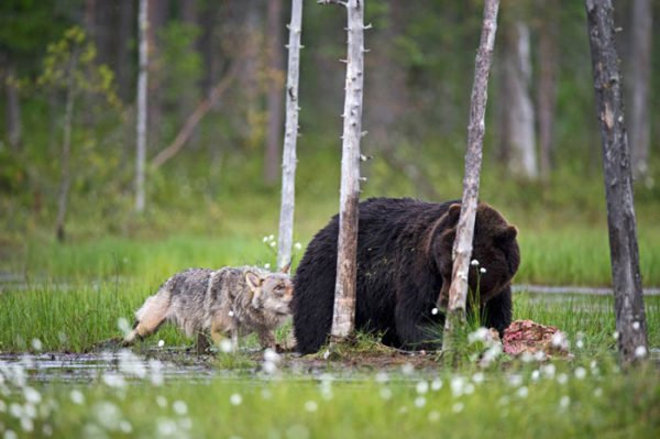 Lassi Rautiainen registra amizade entre um lobo cinzento e um urso pardo