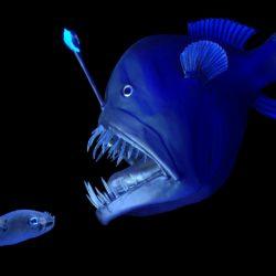 Peixe Diabo-negro é registrado por cientistas e vídeo surpreende