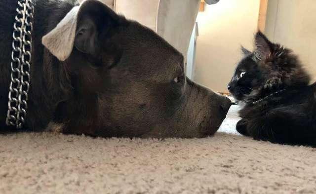 Amor de cao e gato pitbull convence mae humana a adotar gatinho e faz sucesso na Internet 3