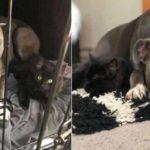 Amor de cao e gato pitbull convence mae humana a adotar gatinho e faz sucesso na Internet 6