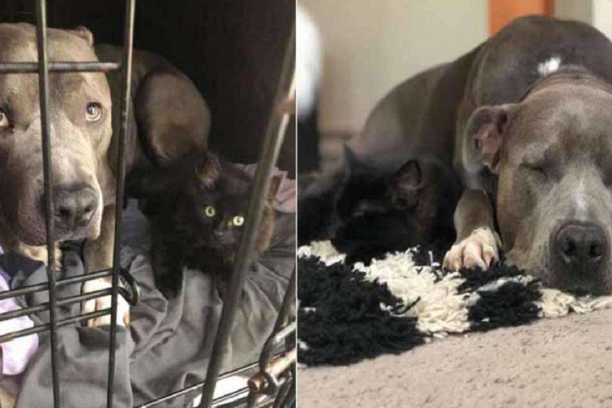 Amor de cão e gato: pitbull convence mãe humana a adotar gatinho e faz sucesso na Internet
