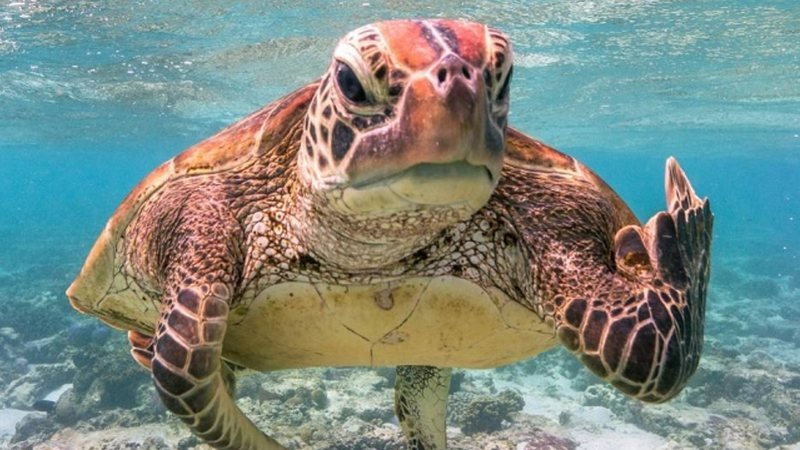 Comedy Wildlife Photography Award gesto obsceno de tartaruga vence premio de fotografia mais engracada de 2020 1