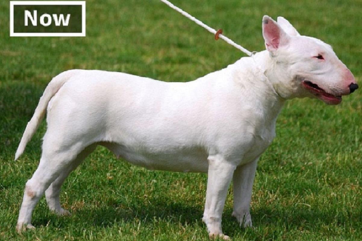 Veja o quanto essas raças de cachorros mudaram ao longo do tempo