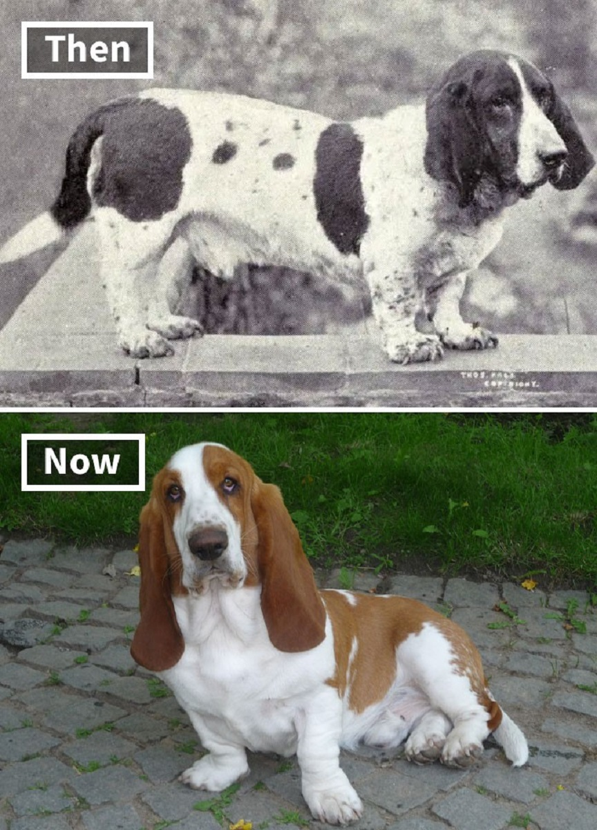 Veja o quanto essas racas de cachorros mudaram ao longo do tempo 2