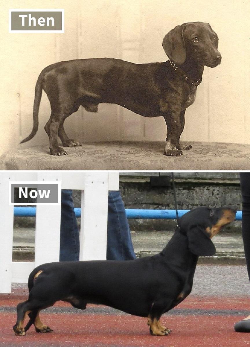 Veja o quanto essas racas de cachorros mudaram ao longo do tempo 4