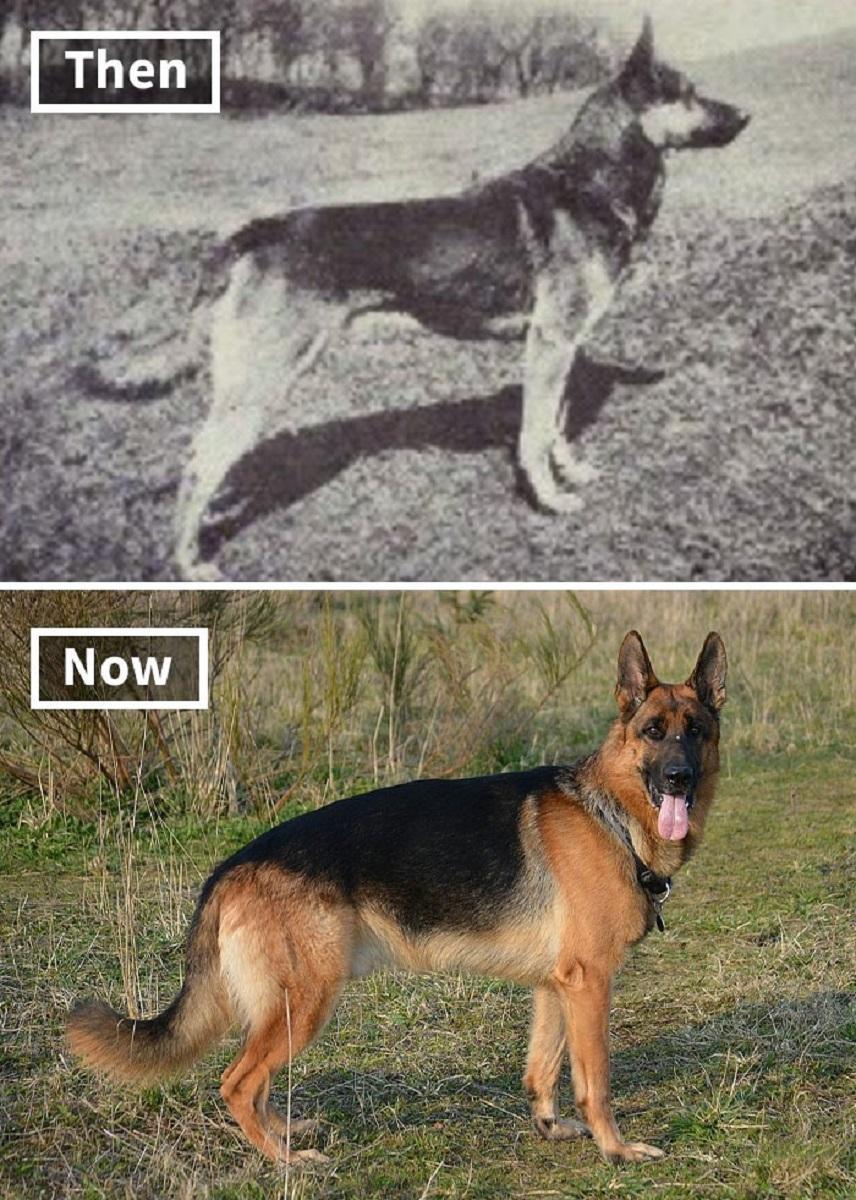 Veja o quanto essas racas de cachorros mudaram ao longo do tempo 5