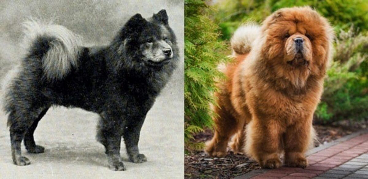 Veja o quanto essas racas de cachorros mudaram ao longo do tempo 9