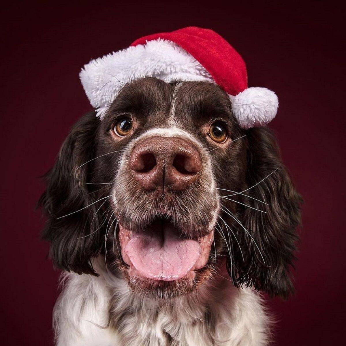 Fotos de Natal de caes essas belezuras ja estao preparadas para o fim de ano 10