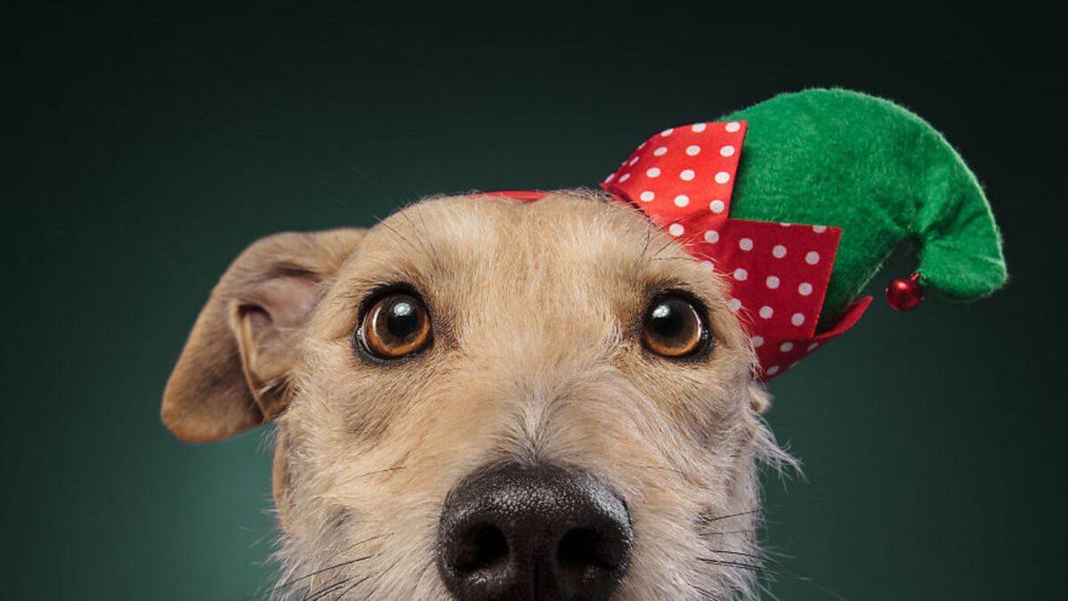 Fotos de Natal de caes essas belezuras ja estao preparadas para o fim de ano 11