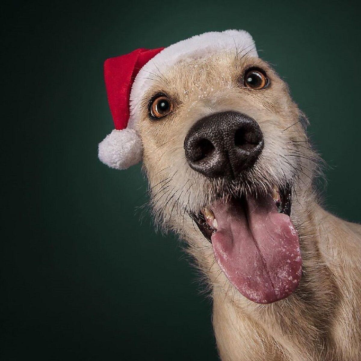 Fotos de Natal de caes essas belezuras ja estao preparadas para o fim de ano 2
