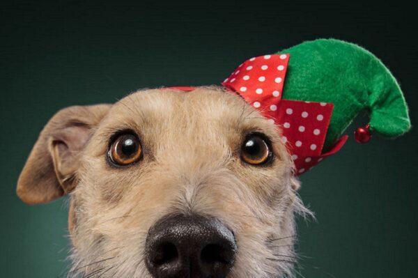 Fotos de Natal de caes essas belezuras ja estao preparadas para o fim de ano 50