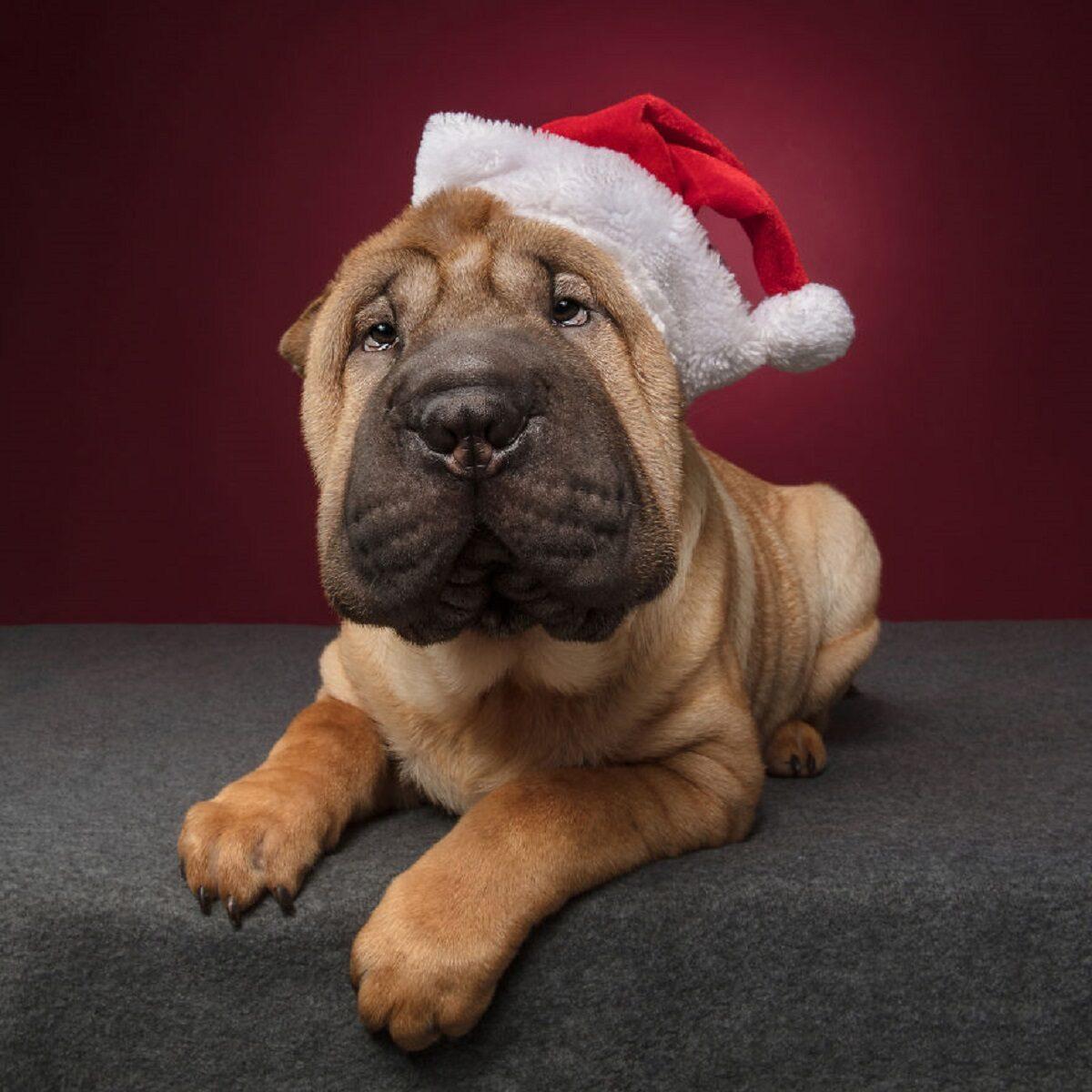 Fotos de Natal de caes essas belezuras ja estao preparadas para o fim de ano 7