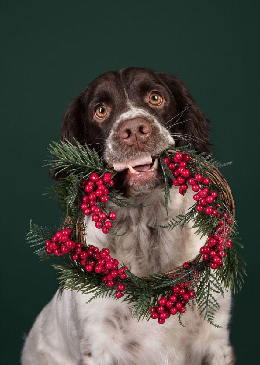 Fotos de Natal de caes essas belezuras ja estao preparadas para o fim de ano 9